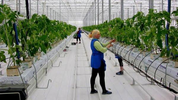 Крупнейший тепличный комбинат Южного Урала близок  к банкротству, а Дубровский разглагольствует о росте производства тепличных овощей
