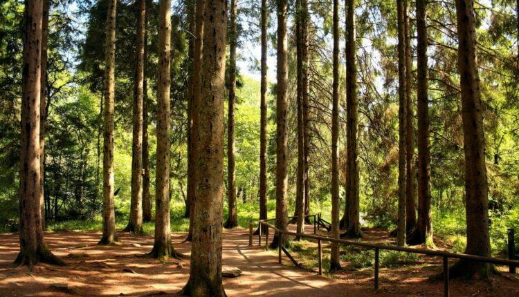 Лесничий с сообщниками вырубил деревьев на 34,5 млн. рублей