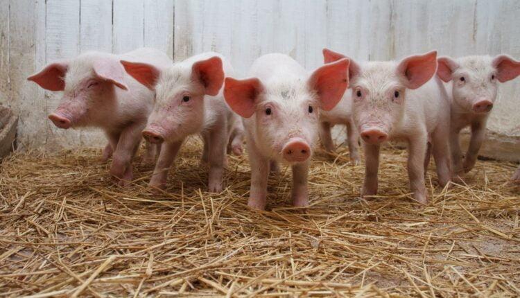 Африканская чума грозит челябинским свиньям
