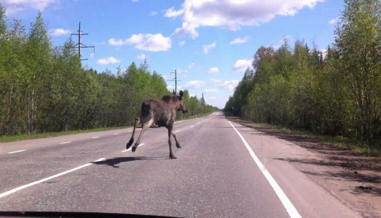 Осторожно, лоси! На автодорогах Южного Урала уже случилось несколько ДТП