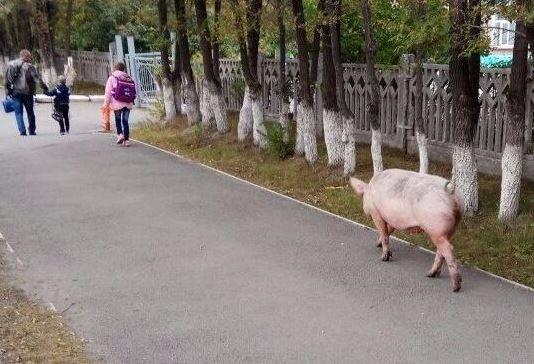 По Челябинску гуляет свинья, ВИДЕО. Мэр Тефтелев окончательно превратил город в колхоз