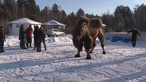 Полиция не усмотрела признаков живодерства в сожжении верблюдов «для укрепления России»