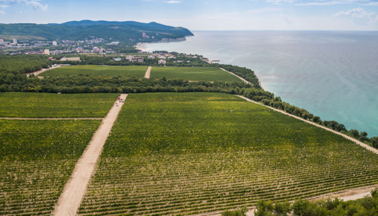 Производство вина рядом с «дворцом Путина» принесло друзьям президента убытки почти на миллиард рублей